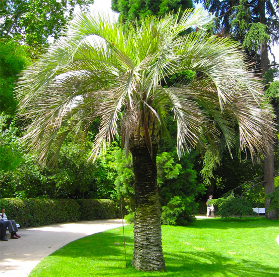 I Giardini di Maggi: Butia Capitata