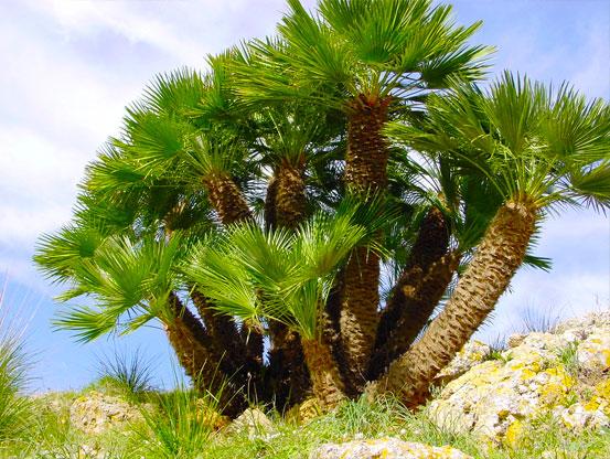 I Giardini di Maggi: Chamaerops humilis