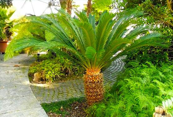 I Giardini di Maggi: Cycas