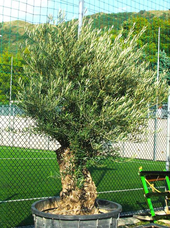 I Giardini di Maggi: olivo secolare, esemplare 40