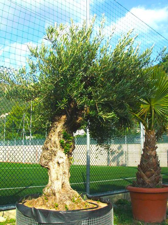 I Giardini di Maggi: olivo secolare, esemplare 42