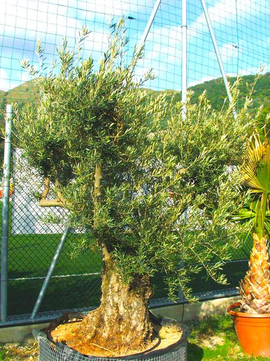I Giardini di Maggi: olivo secolare, esemplare 48