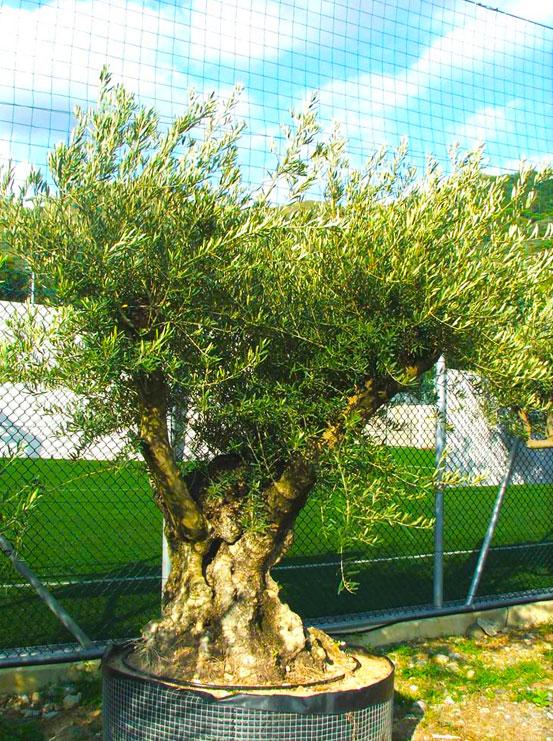 I Giardini di Maggi: olivo secolare, esemplare 49