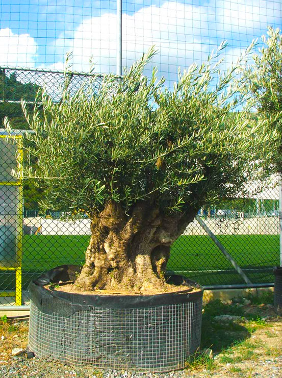 I Giardini di Maggi: olivo secolare, esemplare 51