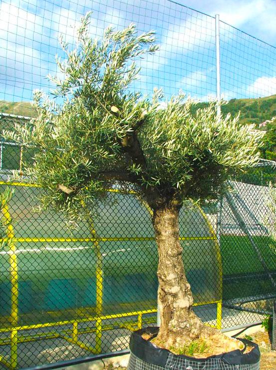 I Giardini di Maggi: olivo secolare, esemplare 52