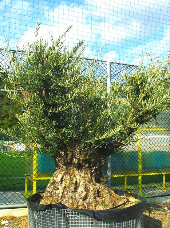 I Giardini di Maggi: olivo secolare, esemplare 53