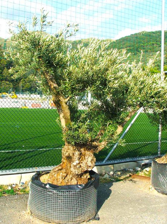 I Giardini di Maggi: olivo secolare, esemplare 58