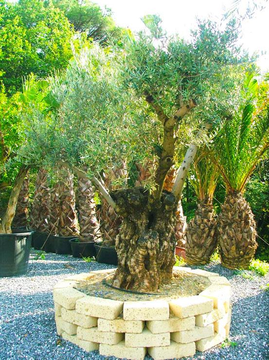 I Giardini di Maggi: olivo secolare, esemplare 59