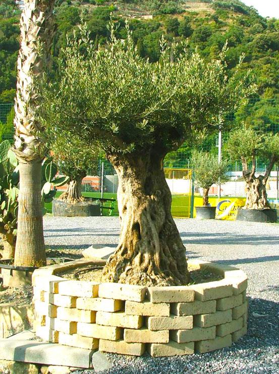 I Giardini di Maggi: olivo secolare, esemplare 33