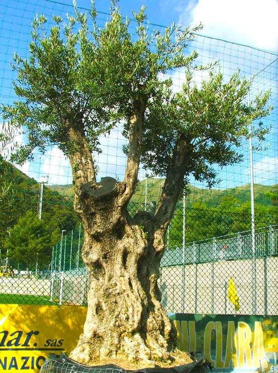 I Giardini di Maggi: olivo secolare, esemplare 36