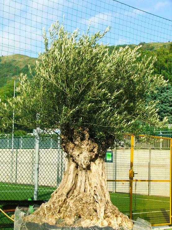 I Giardini di Maggi: olivo secolare, esemplare 39