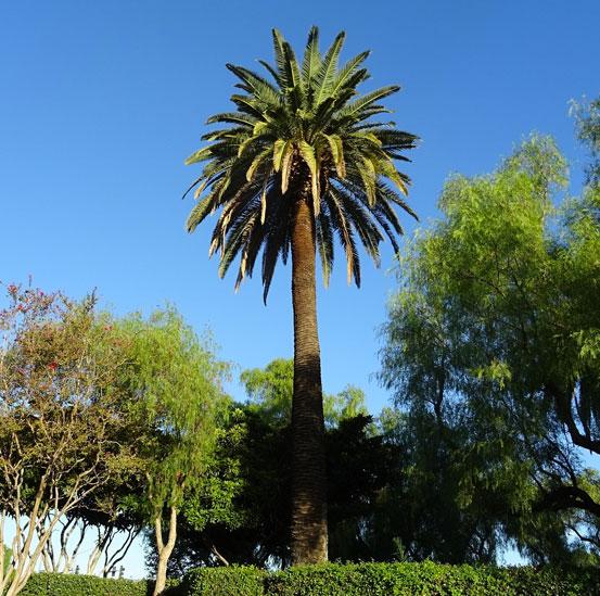 I Giardini di Maggi: Phoenix Canariensis