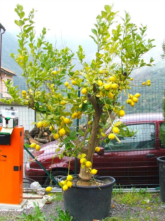 I Giardini di Maggi: citrus limonia