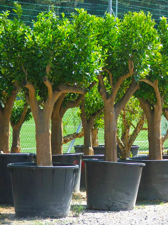 I Giardini di Maggi: citrus sinensis