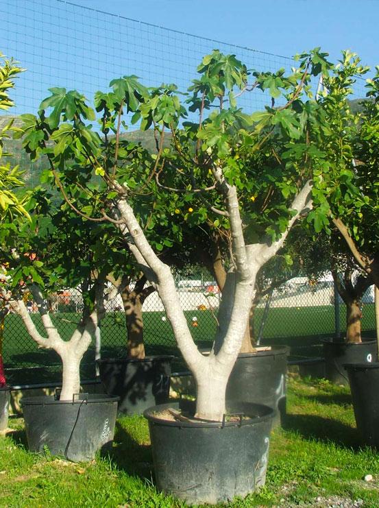 I Giardini di Maggi: ficus carica