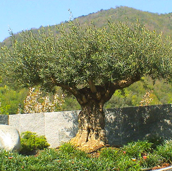 I Giardini di Maggi: olivi